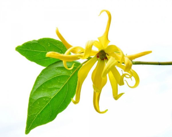 Ylang Ylang Essential Oil, Aromatika 100% Natural