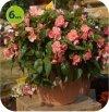 begonia wisząca różowa