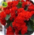 Begonia Solenia Red Orange 6 sztuk