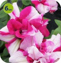 Surfinia rosy ripple 6 sztuk