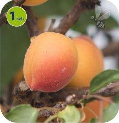 Morela Fruit Me® Apricot 1 sztuka