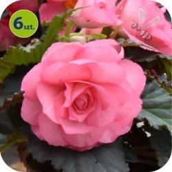 Begonia Bulwiasta różowa  6 sztuk