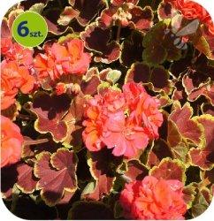 Pelargonia deco Caramel Red 6 sztuk