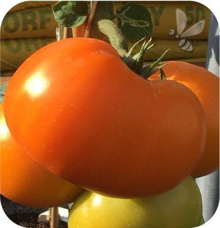 Pomidor szczepiony Beorange