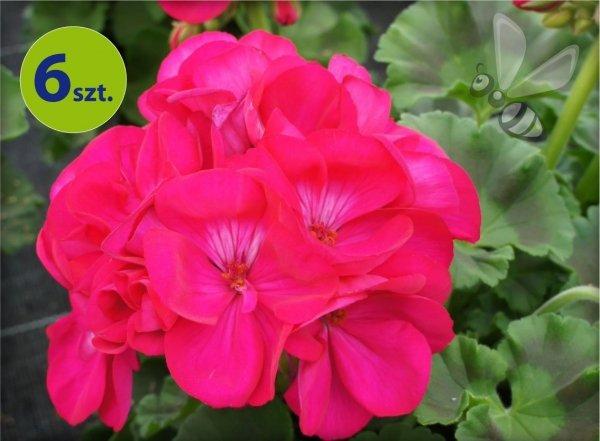 Pelargonia rabatowa purpurowa  6 sztuk