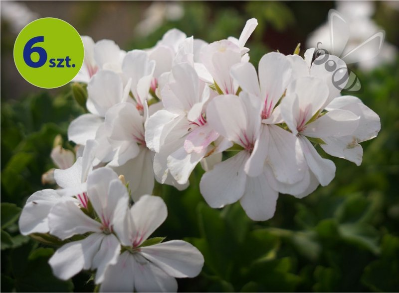 Pelargonia Pure White 6 sztuk