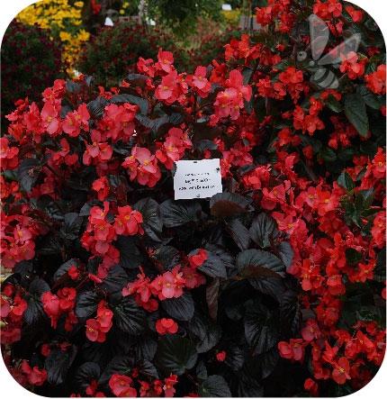 begonia czerwona z ciemnym liściem