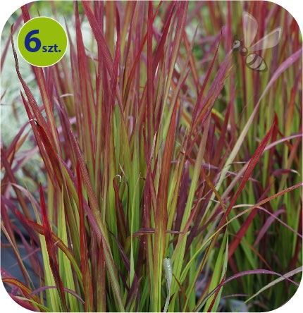 Imperata Red Baron