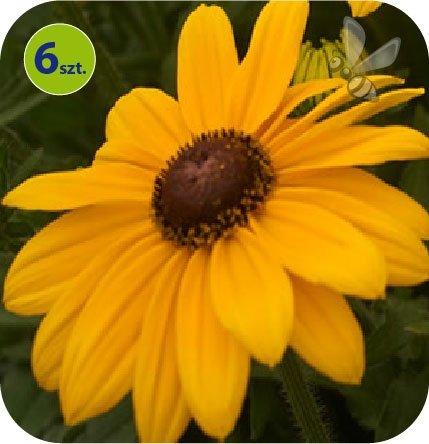 Rudbekia Summerdaisy's Yellow 6 sztuk