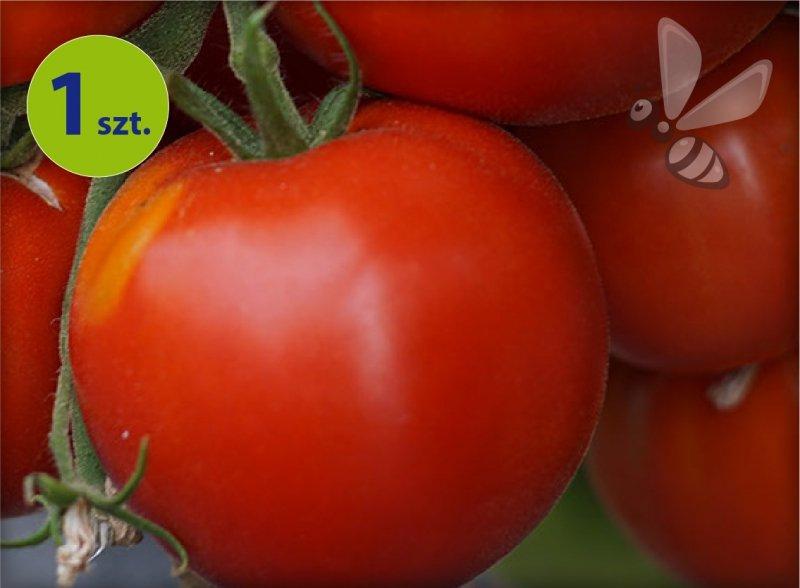 Pomidor Pyros F1