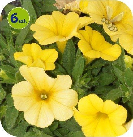 calita żółta