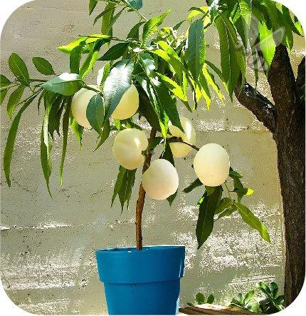 brzoskwinia  Fruit Me® Icepach
