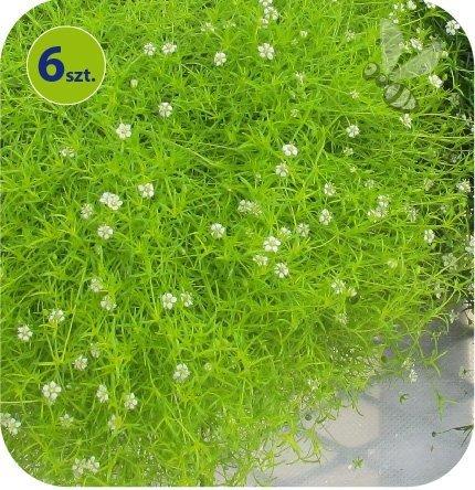 Sagina Moss Lime 6 sztuk