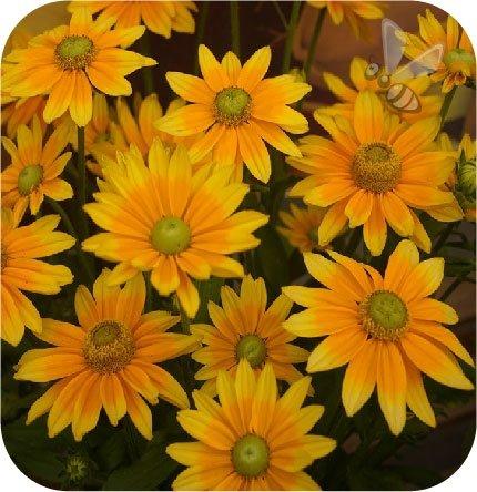Rudbekia Summerdaisy's Green Sun 6 sztuk