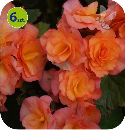 Begonia Solenia Apricot 6 sztuk