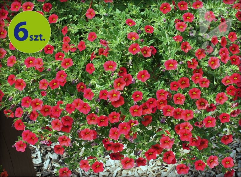 Calita (Million bells) czerwona 6 sztuk
