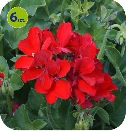 pelargonia pure deep red