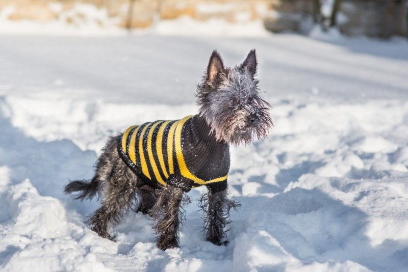 Ami Play Sweter dla psa Glasgow 34 cm Żółte paski