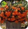 Begonia Belina Peach 6 sztuk
