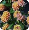 lantana pomarańczowa