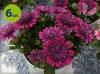 osteospermum pełne purpurowe