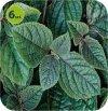 Plectranthus Nico 6 sztuk