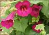 Lofos różowy 6 sztuk