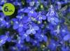 lobelia niebieska_allegro