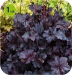 Heuchera Velvet Night 1 sztuka