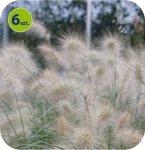 Penisetum Nemira 6 sztuk