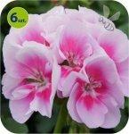 Pelargonia rabatowa j.różowa z oczkiem  6 sztuk