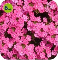 Werbena kompaktowa różowa 6 sztuk