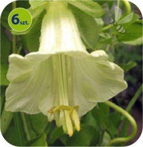 Cobea biała 6 sztuk
