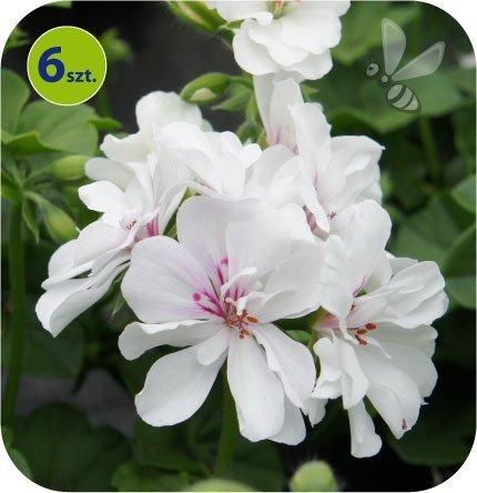 Pelargonia wisząca biała 6 sztuk