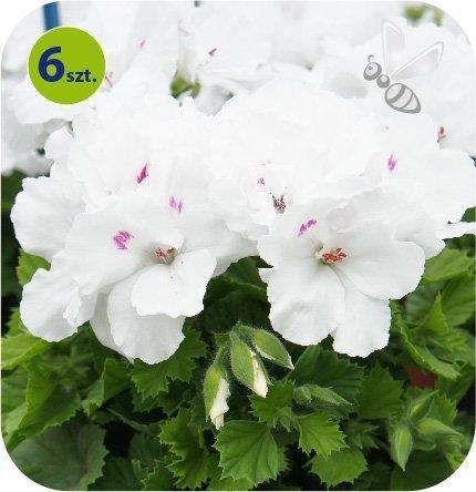 Pelargonia angielska Snow 6 sztuk