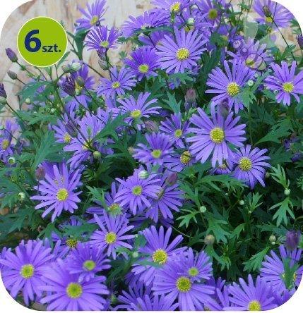Brachyscome niebieska 6 sztuk