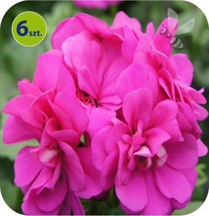 pelargonia wisząca fioletowa