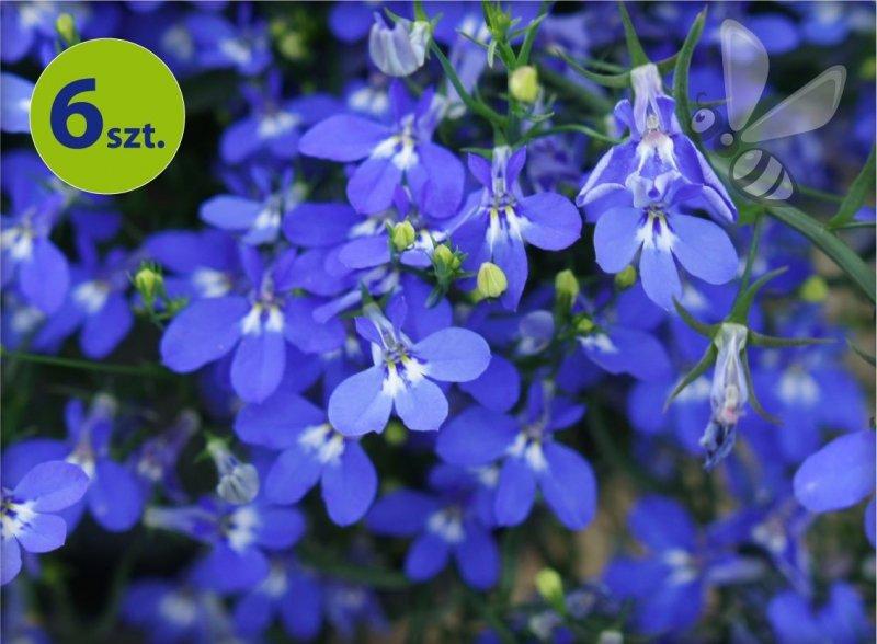 Lobelia niebieska 6 sztuk
