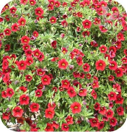 calita czerwona