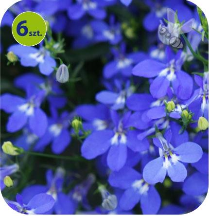 lobelia niebieska
