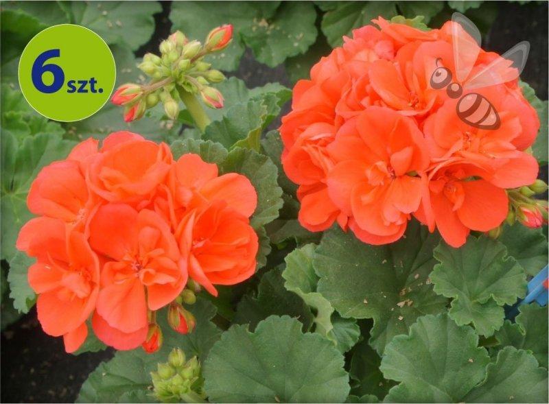 pelargonia rabatowa pomarańczowa_allegro