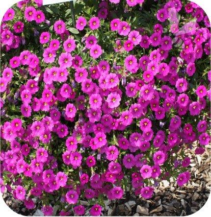 calita różowa