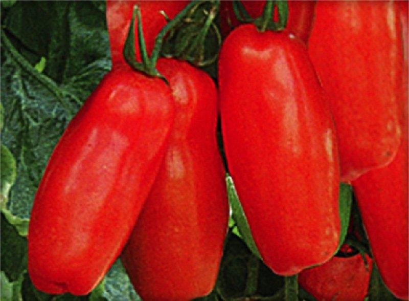 Pomidor szczepiony Uriburi