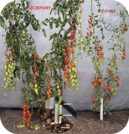Pomidor szczepiony Matias