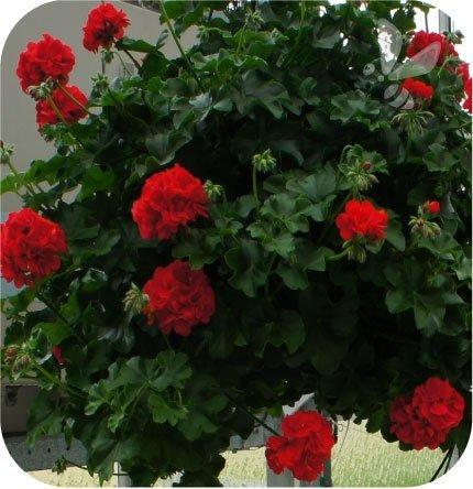 Pelargonia wisząca ciemno czerwona 6 sztuk