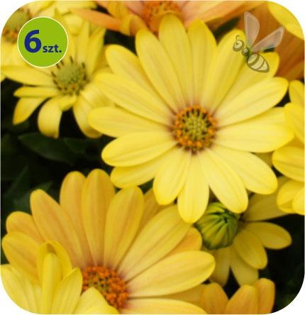 osteospermum żółte