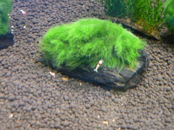 Gałęzatka Cladophora Na Lignicie 1szt