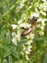 Dla Pszczół