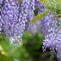Wisterie