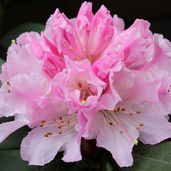 Rhododendron Cheer rosenfee.pl